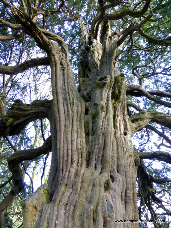 The Yew at West Tisted