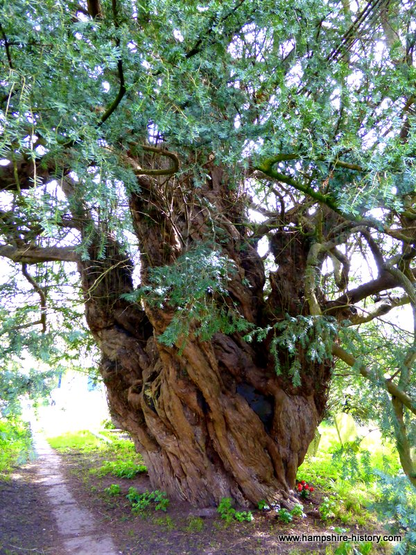 Yews Trees at Warblington church yard