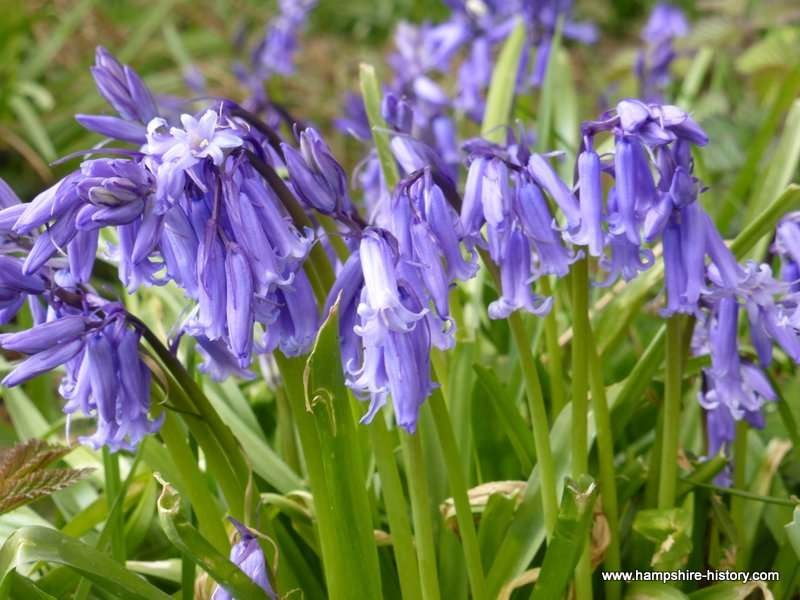 Bluebells in ancient woodland