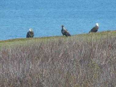 Monticello3-Eagles-Shoreline