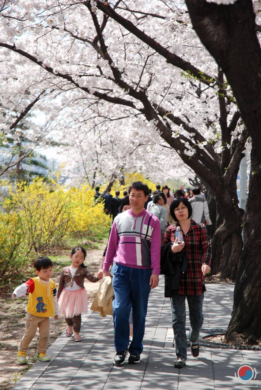 HanCinema Koreas Photo Diary Yeouido Spring Flower