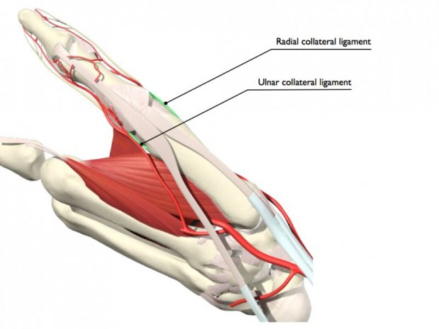 The gallery for gt Ulnar Collateral Ligament Thumb