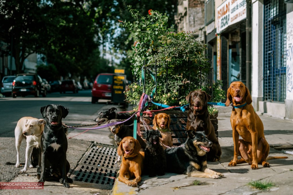 lots of dogs on the street in buenos aires argentina