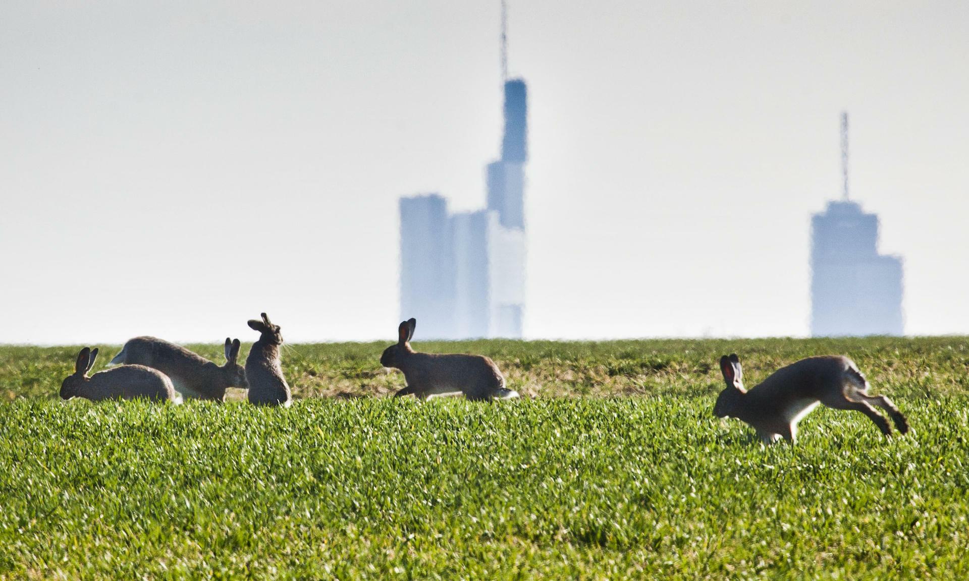 """""""Oster""""-Hasen vor der Frankfurter Skyline: Die Banken brauchen die EZB. Quelle: dpa"""