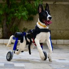 wheelchair dog vallie hanging chair rent wheelchairs walkin wheels cart rentals