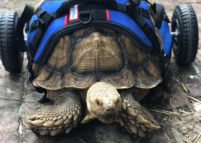 Giant Disabled Tortoise Has Something to Shell-ebrate