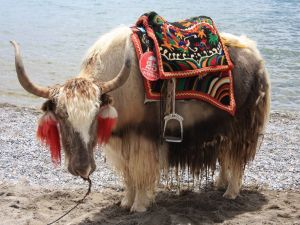 Yak_at_Nam_Tso_Tibet