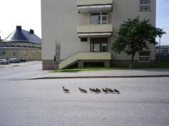 Entenfamilie im Krankenhausgelände