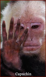 The hand of a white faced Capuchin primate monkey.