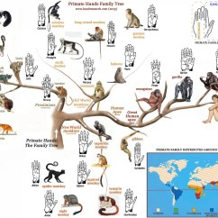 Human Evolution Tree Diagram Vb Air Suspension Wiring The Primate Hands Family Structure Corresponds With