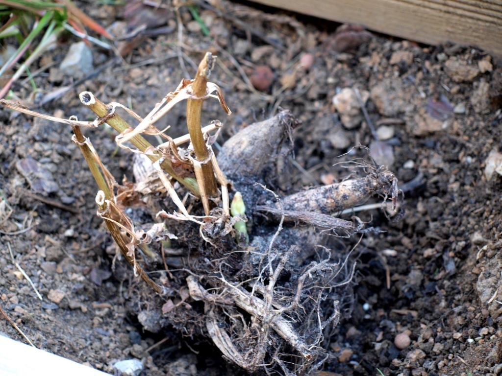 Dahlien werden gepflanzt und mit Schneckenbarriere geschützt