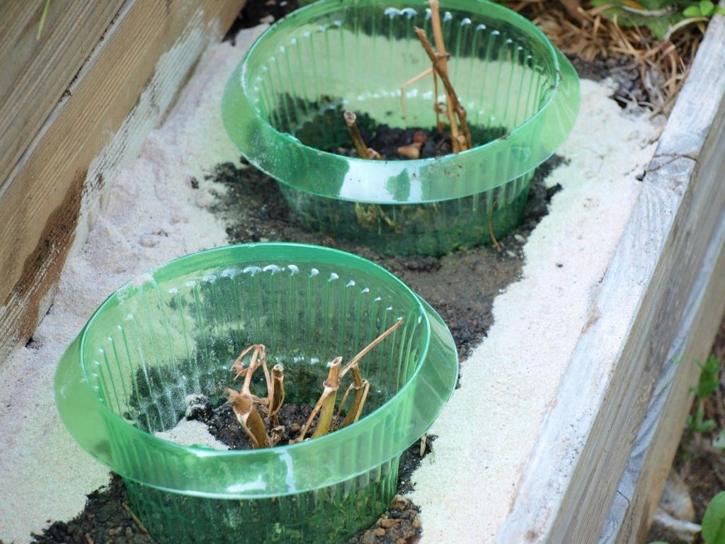 Schneckenbarriere und Schneckenkragen schützen die Dahlien