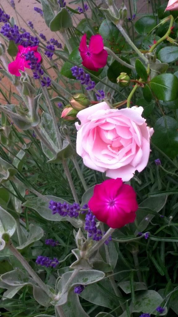 Traumkombi Vexiernelke, Lavendel, New Dawn