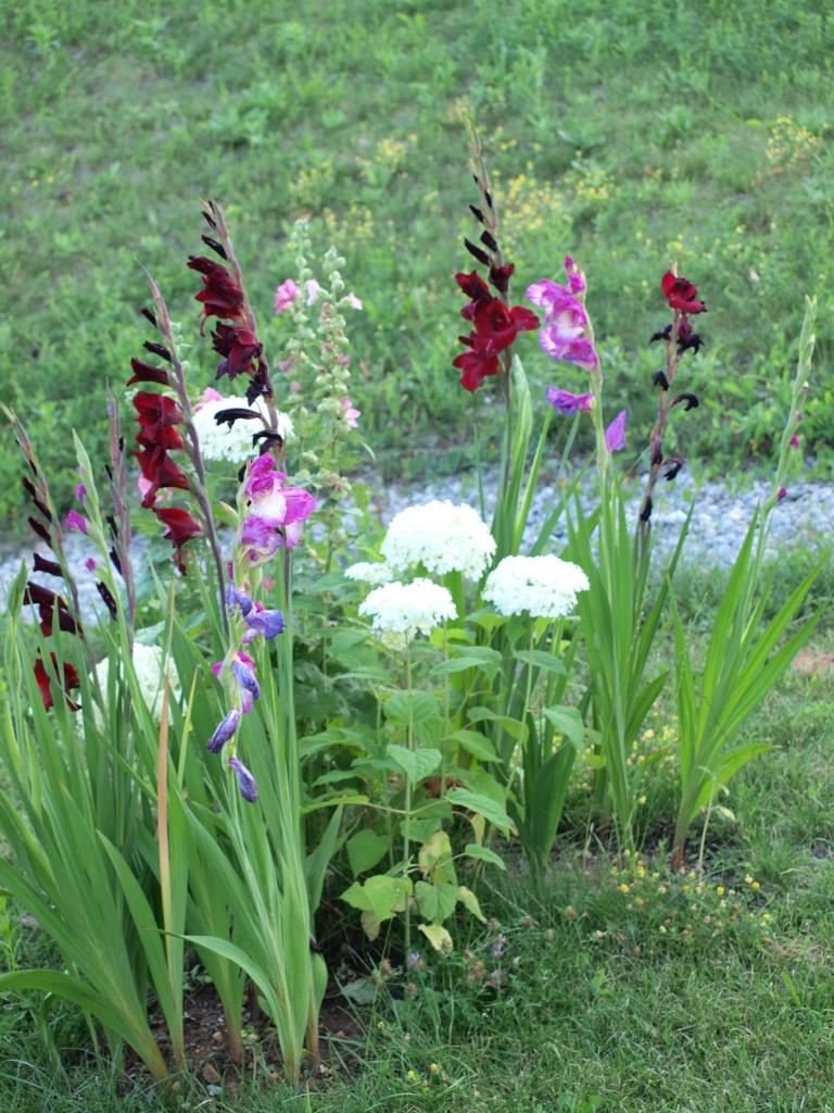 Gladiolen-Hortensien-Stockrosen Beet