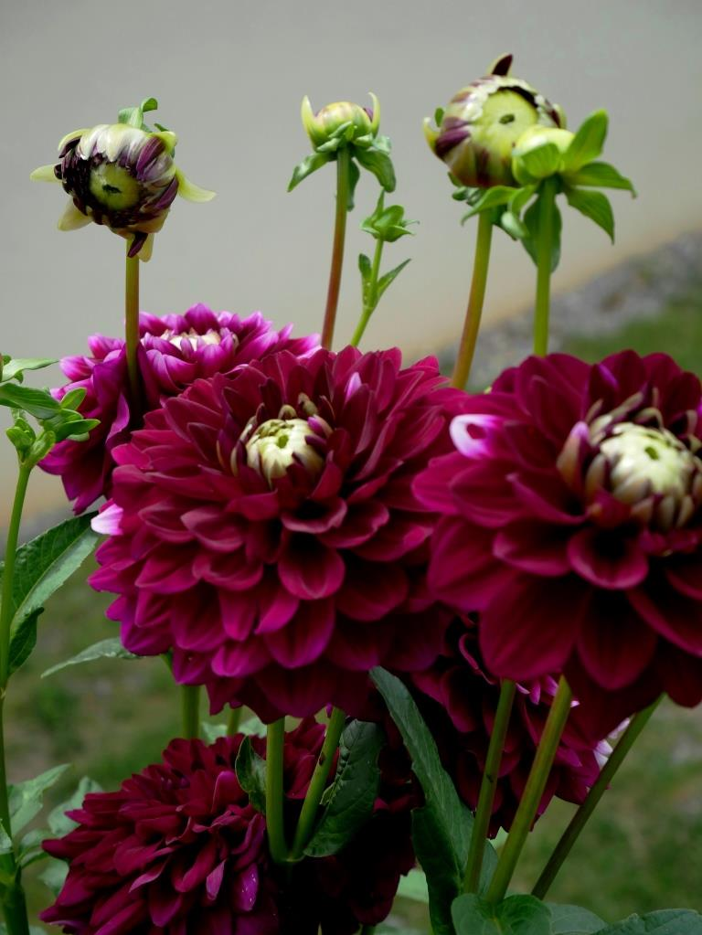 Dahlien in violett