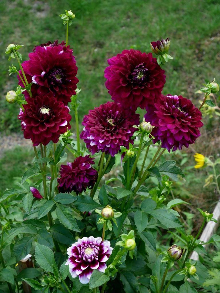 Dahlien in lila