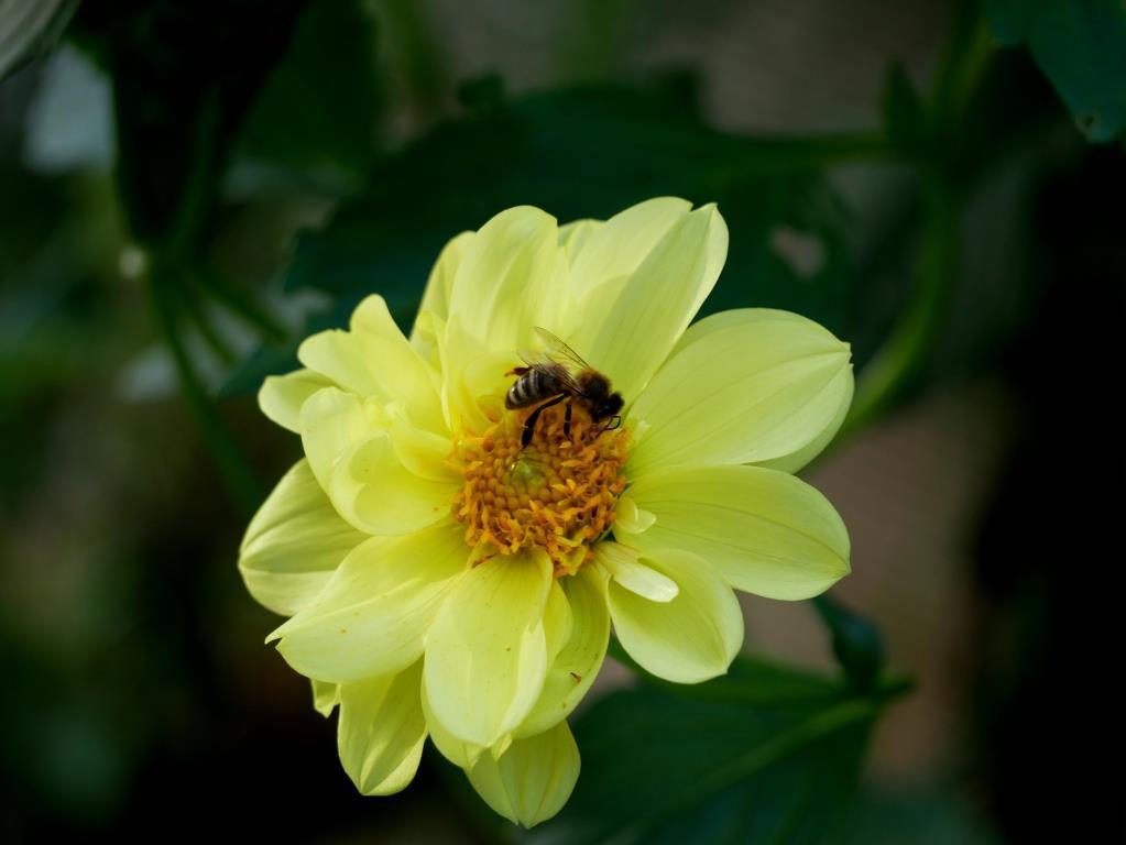 Die Bienen freuen sich über die späte Blütenpracht