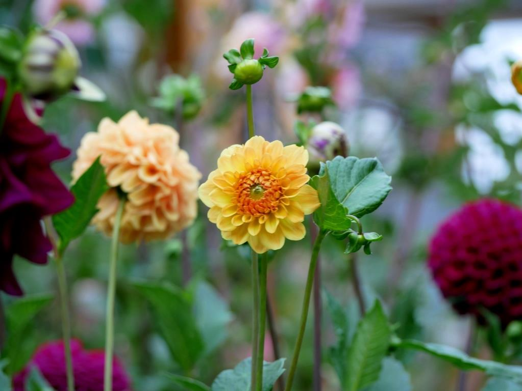 Bunte Dahlien im September-Garten