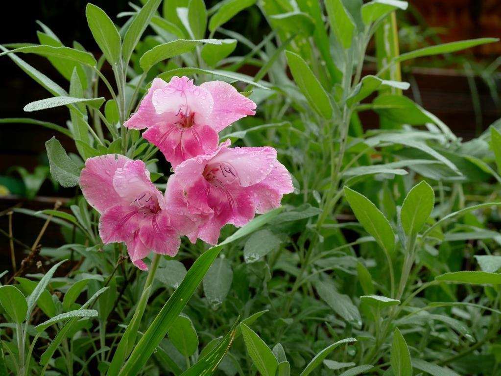 Gladiolen nach einem Regenguss
