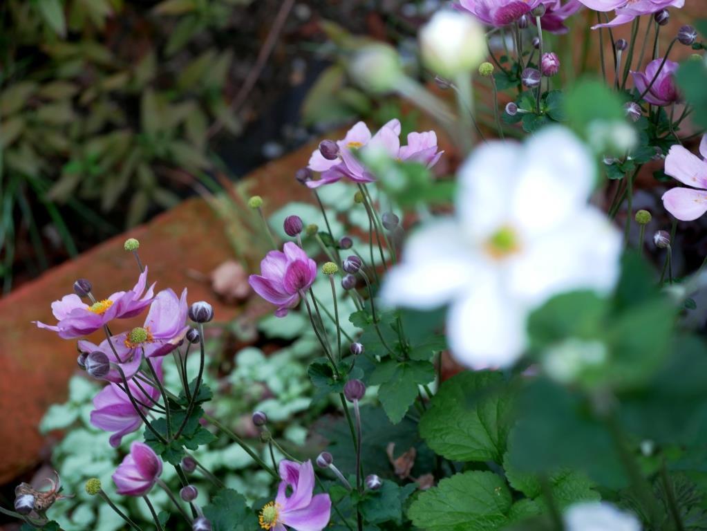 Herbtanemonen in lila und weiß
