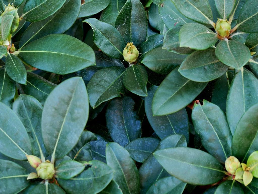 Junger Rhododendron vor seinem ersten Winter