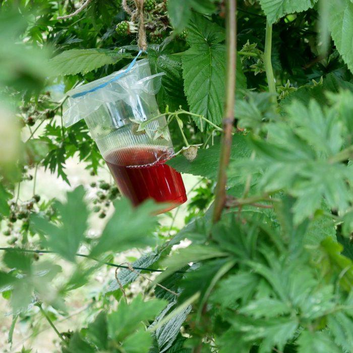 So wird die Kirschessigfliegenfalle im Strauch aufgehängt