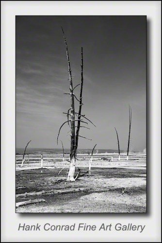 Yellowstone Tree