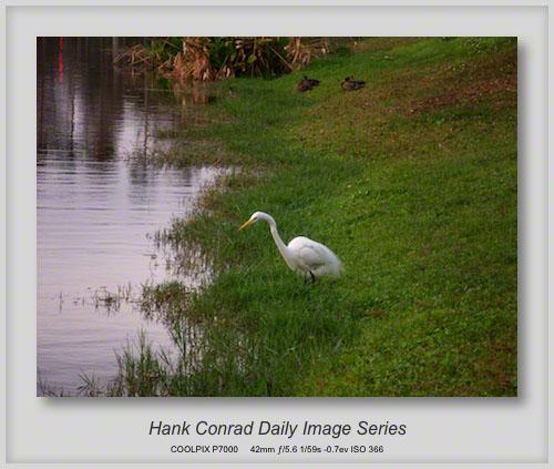 1/12/2013 Snowy Egret