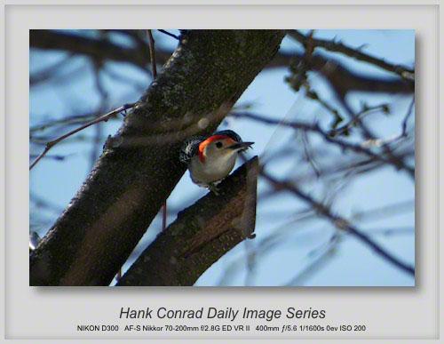 3/07/2013 Red-Bellied Woodpecker