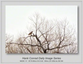 4/06/2013 Red-tailed Hawk