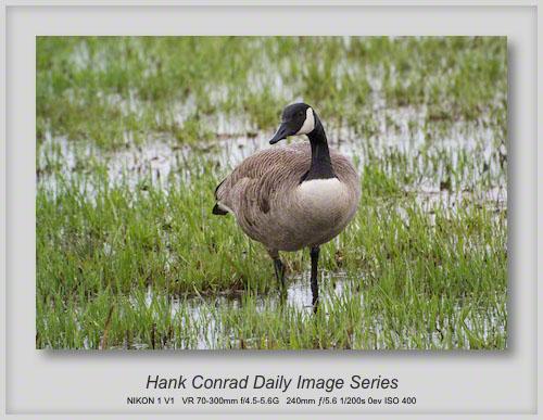 4/15/2013 Canada Goose