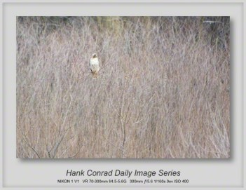 4/16/2013 The Red-tailed Hawk