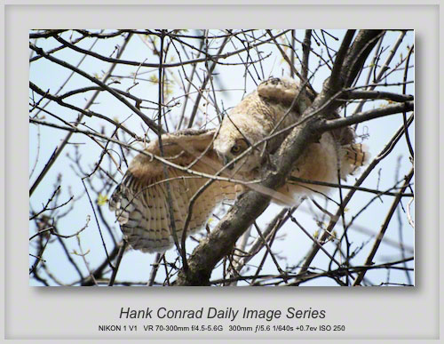 5/01/2013 Juvenile Great Horned Owl