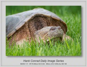 6/02/2013 Snapping Turtle