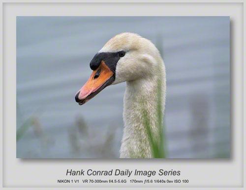 6/09/2013 Mute Swan - Female