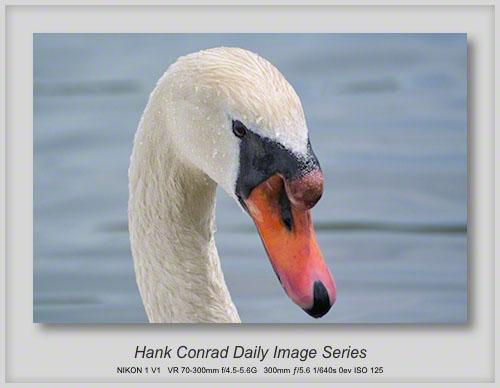 6/09/2013 Mute Swan - Male