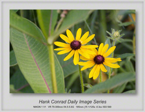 6/29/2013 Black-eyed Susan