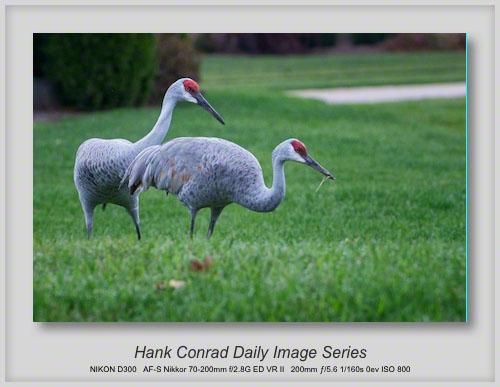 9/22/2013 Sandhill Cranes