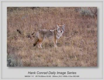 11/09/2013 Coyote