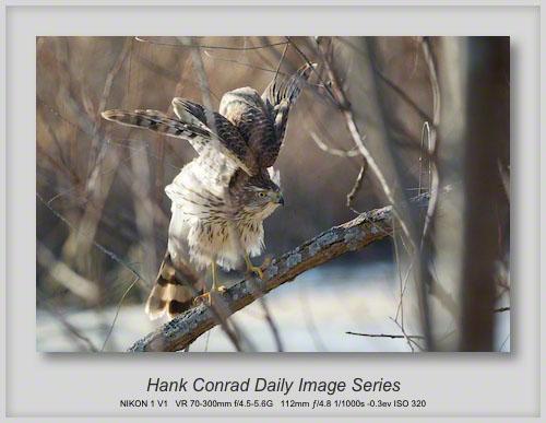 12/11/2013 Cooper's Hawk Again