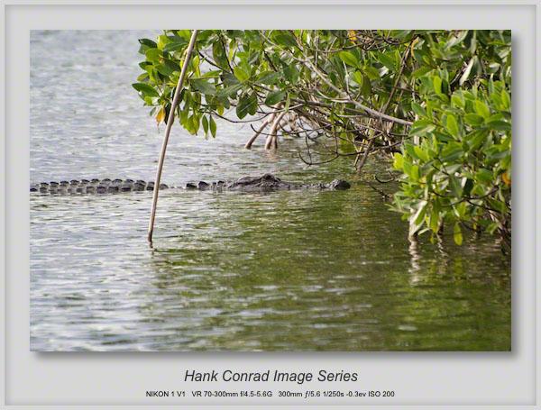 1/17/2014 American Alligator Hunting