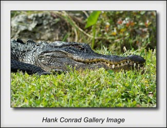 Gator: Eye to Eye