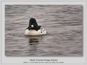 Goldeneye Duck