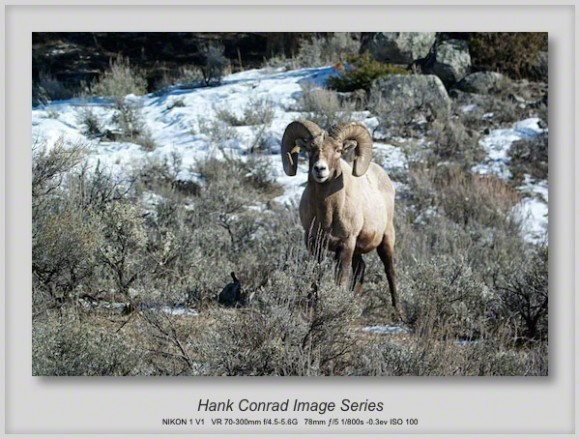 Bighorn Sheep at Badlands NP