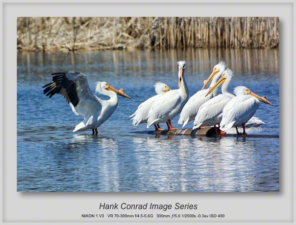American Pelicans are Back!