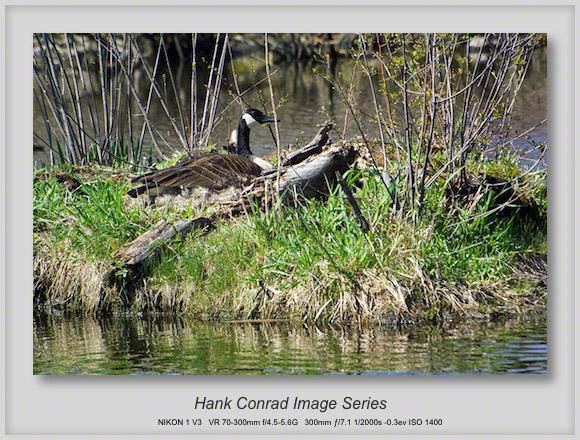 Canada Goose Nesting on an Island