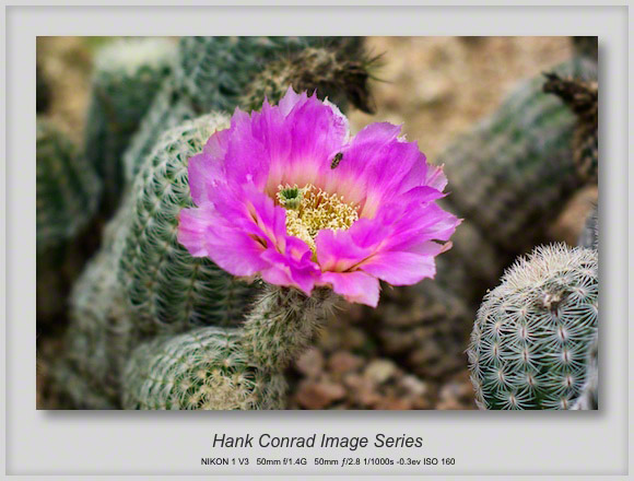 Cactus in the Hill Country