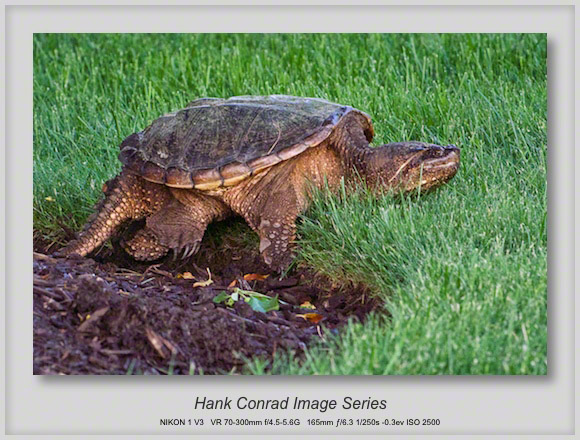 Another Common Snapping Turtle