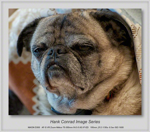 Serious Pug