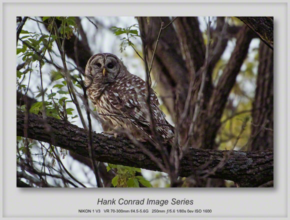 Barred Owl Again
